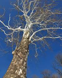 winter sycamore tree royalty free stock photography image 37860947