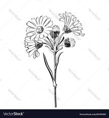 hand drawn bouquet of daisy flowers isolated vector image