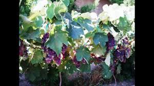 concord grape plants video youtube