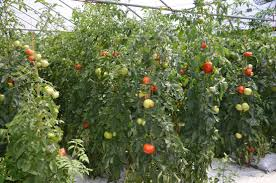 tomato garden design zandalus net