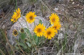 24th april 2012 u2013 yellow flowers u2013 survivors of the desert