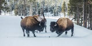 Montana wildlife tours images Montana vacation packages tours austin adventures jpg