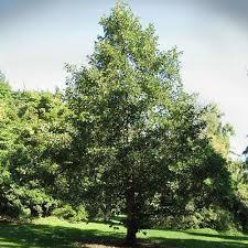 irish alder tree clarenbridge garden centre