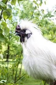 how to raise backyard chickens u2014 cream honey