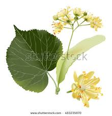 linden flower vector illustration linden flowers stock vector