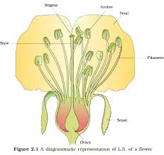 Reproduction In Flowering Plants - the flower and the sexual reproduction in angiosperms javi