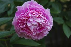 peony flowers peony growing tips how to care for peonies