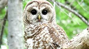 Barn Owls Habitat Fed Wildlife Officials To Clear Cut Endangered Spotted Owls