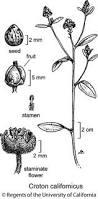 jepson herbarium jepson flora project jepson eflora croton