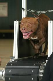 l american pitbull terrier a p b t american pit bull terrier shows and activities