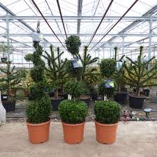 Topiary Plants Online - buxus plant topiary tri ball topiary buxus plants for sale