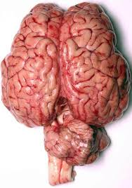 Image Of Brain Anatomy Human Anatomy Images Brain Hd Wallpaper And Background Photos