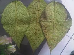 cara membesarkan penis dengan daun bungkus perbesar penis