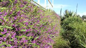 australian native screening plants meema hardenbergia violacea is an australian native shrub that
