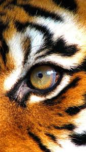 best 25 eye of the tiger ideas on pinterest the tiger tiger