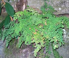 australian native shade plants adiantum aethiopicum wikipedia