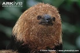 4 toed sloth maned three toed sloth photo bradypus torquatus g8416 arkive