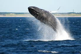 the ultimate guide to whale watching in sydney u0027s waters this winter