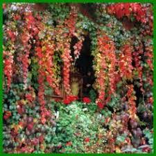 kletterpflanzen fã r balkon 71 besten garten bilder auf gartenpflanzen schöner