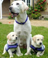 Sponsor A Puppy For The Blind Super Pups To The Rescue The Guide Dogs Bred To Unload Washing