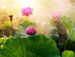 Lotus Flower In Muddy Water - symbolism of the lotus flower u2014 mind fuel daily