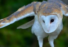 What Does A Barn Owl Look Like Owl Symbolism Learn Tattoo Meanings And Why They U0027re Unique Guy