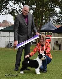 afghan hound breeders victoria gengala afghan hounds u0026 tibetan terriers home facebook