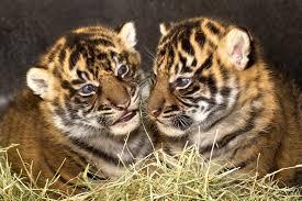 tiger san diego zoo animals u0026 plants