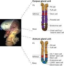 stomach development stem cells and disease development