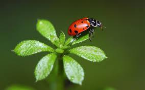 download ladybug wallpaper 3953 1920x1200 px high resolution