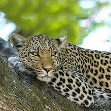 to dictionary meaning of leopard in is
