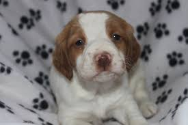 Do Brittany Spaniels Shed by Brittany Dog Breeders Michigan Breed Dogs Picture