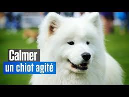 affenpinscher a donner 1000 ideas about comment dresser un chien on pinterest