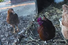 keeping backyard chickens agriculture and food