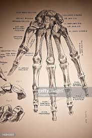 A Picture Of The Human Anatomy Human Skeletal System Stock Photos And Pictures Getty Images