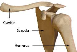 Basic Shoulder Anatomy Anatomy Of The Shoulder Glenohumeral Joint Scapulo Thoracic Joint