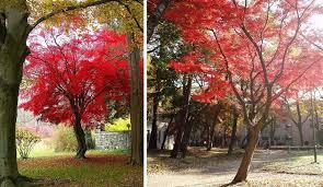 albero giardino acero giapponese uno splendido albero per il tuo giardino idee