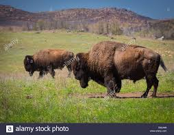 Oklahoma wildlife images Roaming bison in wichita mountains wildlife refuge oklahoma stock jpg