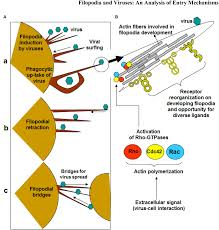 frontiers filopodia and viruses an analysis of membrane