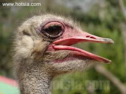 zoom ostrich tongue youtube