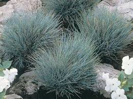 blue fescue in our garden now plants already in our yard our