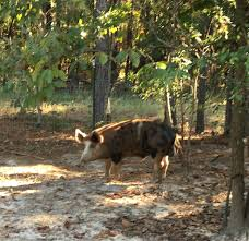 baymule u0027s pigs 2017 2018 backyardherds com