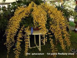 oncidium orchid 25 best oncidium orchid ideas on cattleya orchid