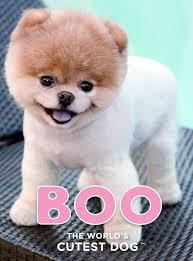 boo u2013 the world u0027s cutest dog is a worldwide social media