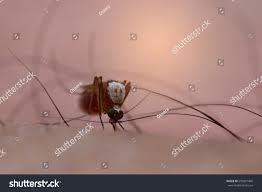 Seeking Blood Culex Mosquito Seeking Blood House Mosquito Stock Photo 593821496