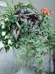 79 best topiarius summer annuals images on pinterest garden