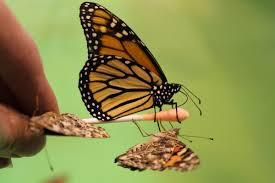 states along i 35 agree to improve butterfly and bee