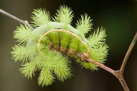 do caterpillars bite or sting