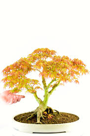 outdoor bonsai trees for sale from the professionals