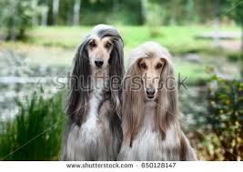 afghan hound grooming styles afghan hound stock images royalty free images u0026 vectors